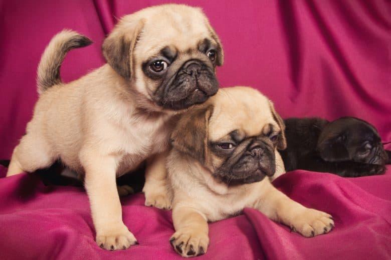 Cute Pug puppies on a fuchsia background