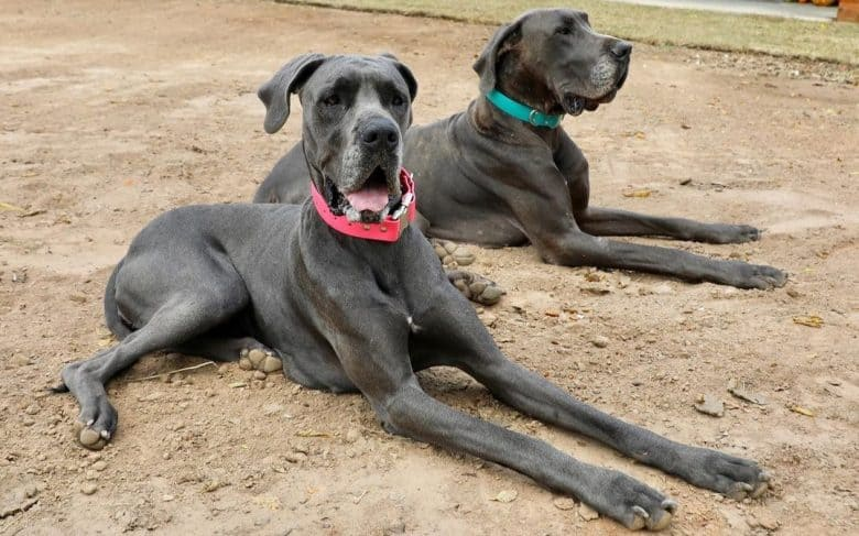 Two Blue Great Danes laying on the dirt