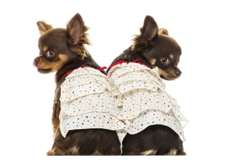 Chihuahua dogs wearing dresses