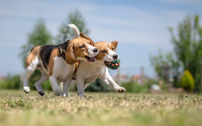 Two Beagles fighting over a ball