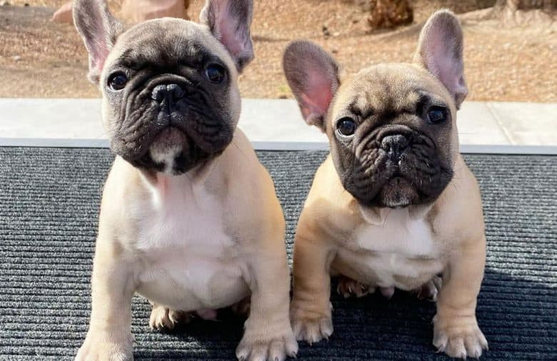 Two French Bulldogs sitting on the mat