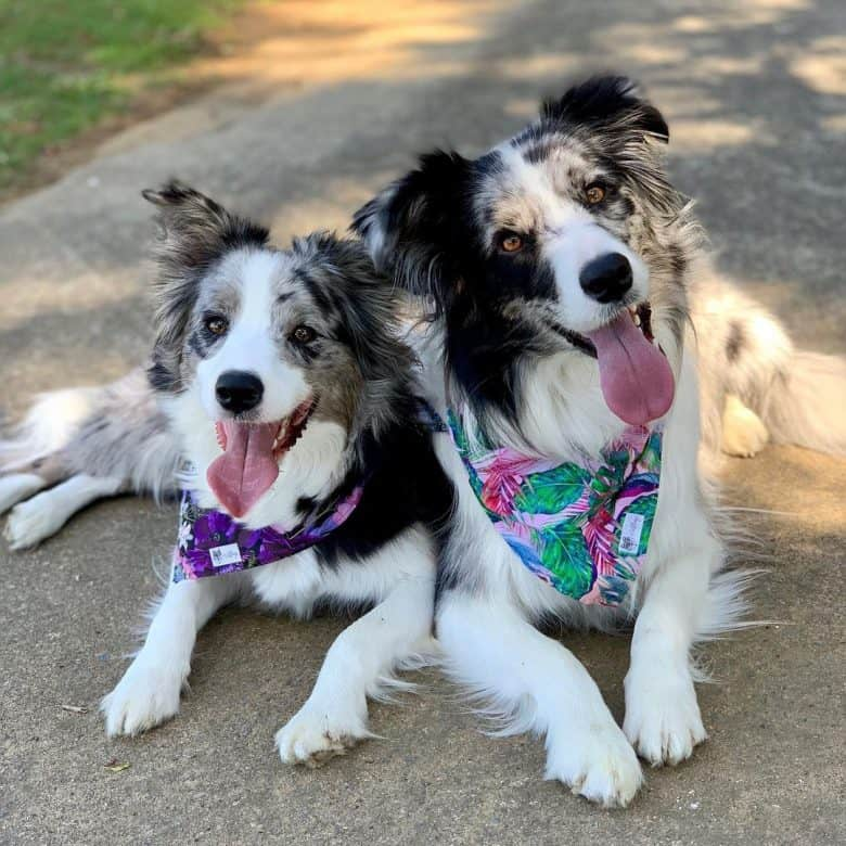 Two adorable Blue Merle Border Collies making faces