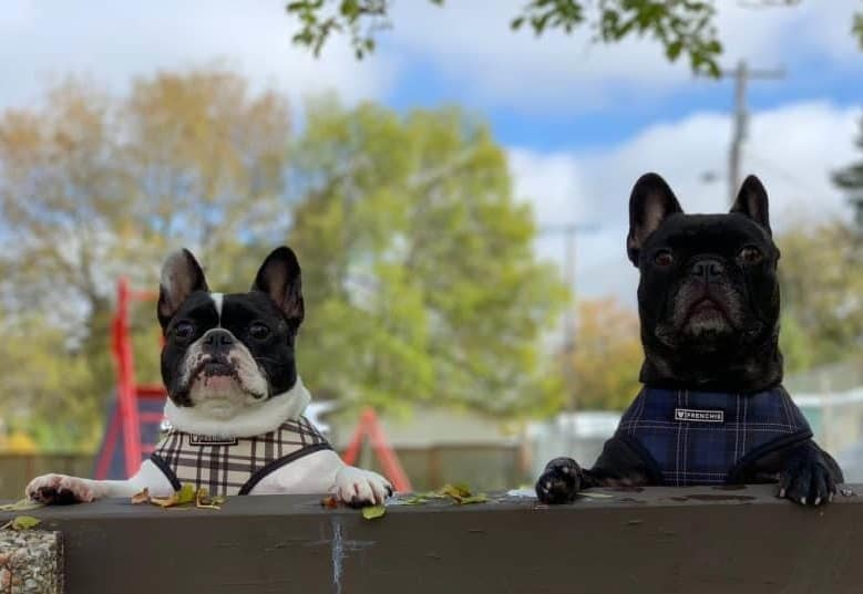 two Frenchies peeking and standing on a park bench