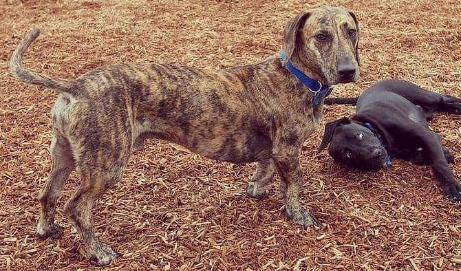 Two Dachshund and Great Dane mix dog playing together outside
