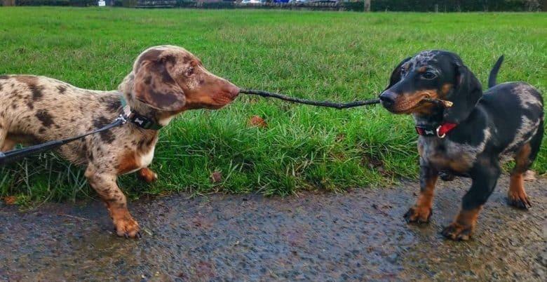 Two playful Dapple Dachshund having a tug-of-war