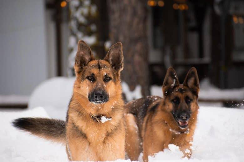 Two German Shepherd dogs enjoying the snow