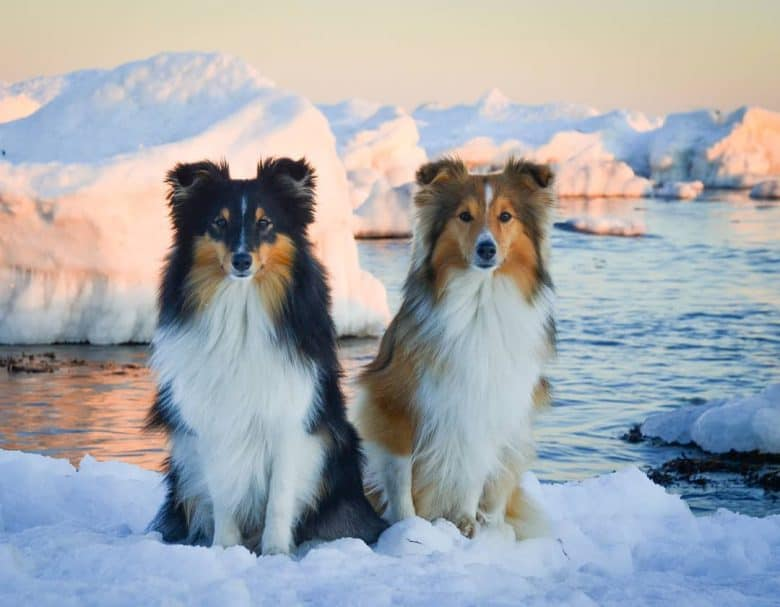Two Miniature Collies sitting on snow on a winter day