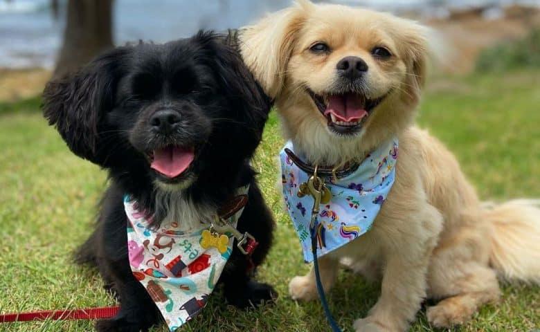 Two Pekingese Poodle mix dog posing near the beach