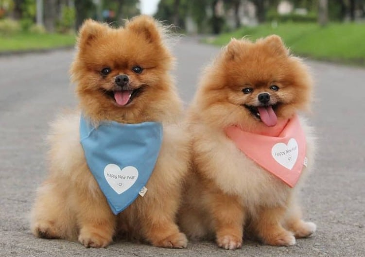 Two Pomeranians smiling and sitting in the middle of the road