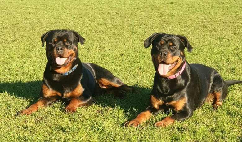 Two cute Rotties smiling while laying on the grass