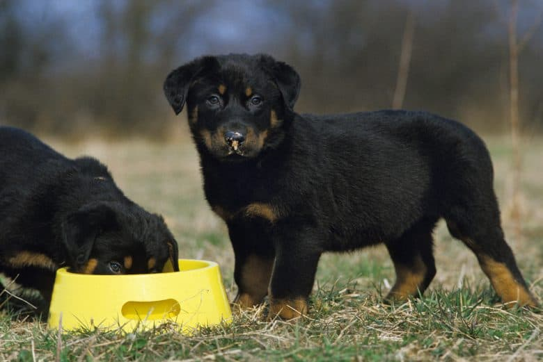Two Rottweiler puppies sharing in a yellow dog bowl