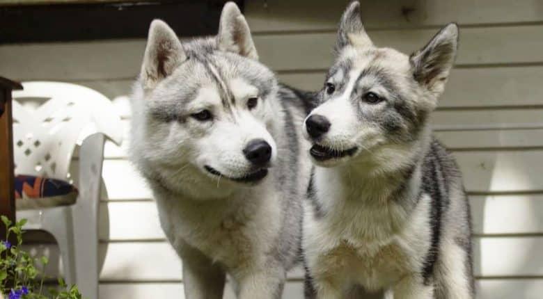 Two Siberian Husky dogs bonding together