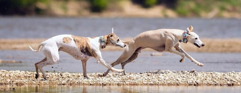 Two Sighthound dogs running on the beach