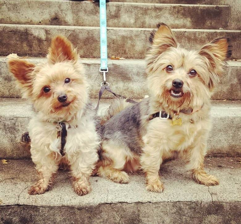 Two lovely Pom Yorkie mix sitting and smiling on a step