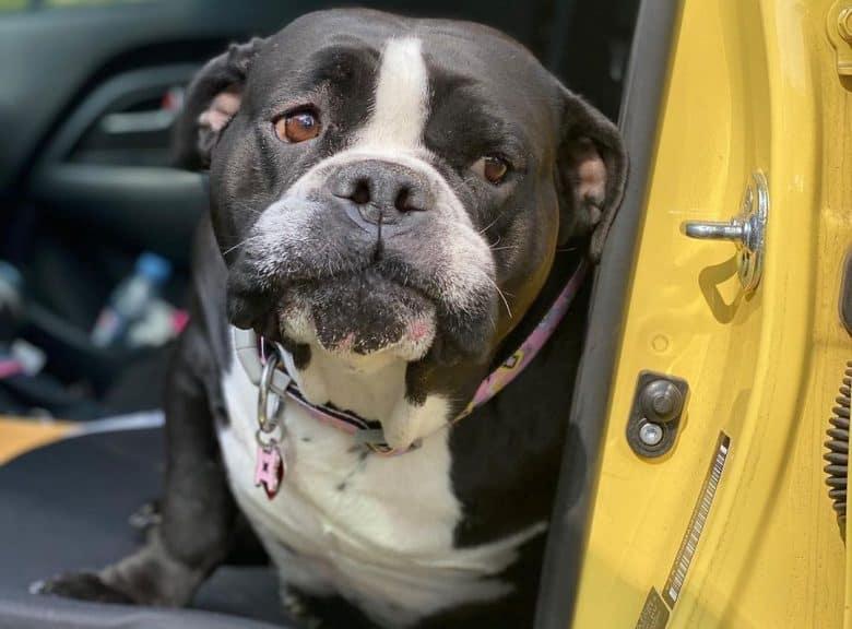 A sweet Bulloxer sitting inside a car