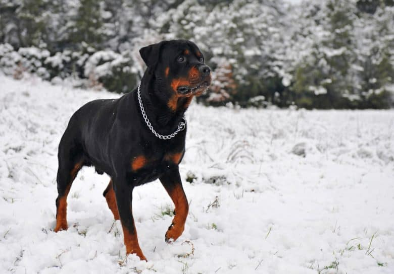 A serious Rottweiler walking during a snowy day