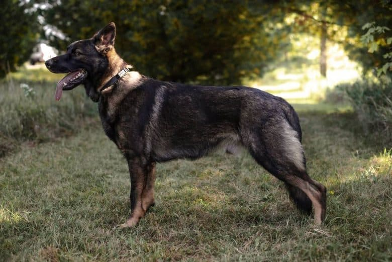 A West German Working Line GSD standing