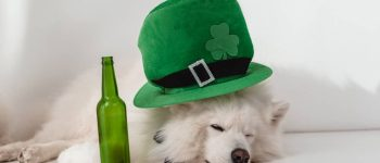 a white sleeping dog wearing a green hat