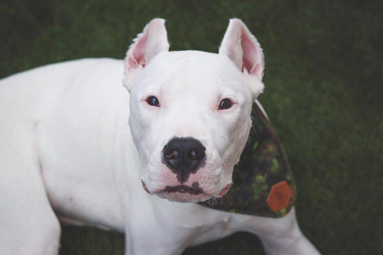 A white Dogo Argentino wearing a scarf