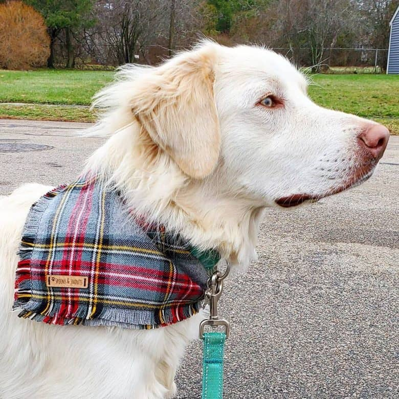 A beautiful Great Pyrenees Lab wearing a bandana