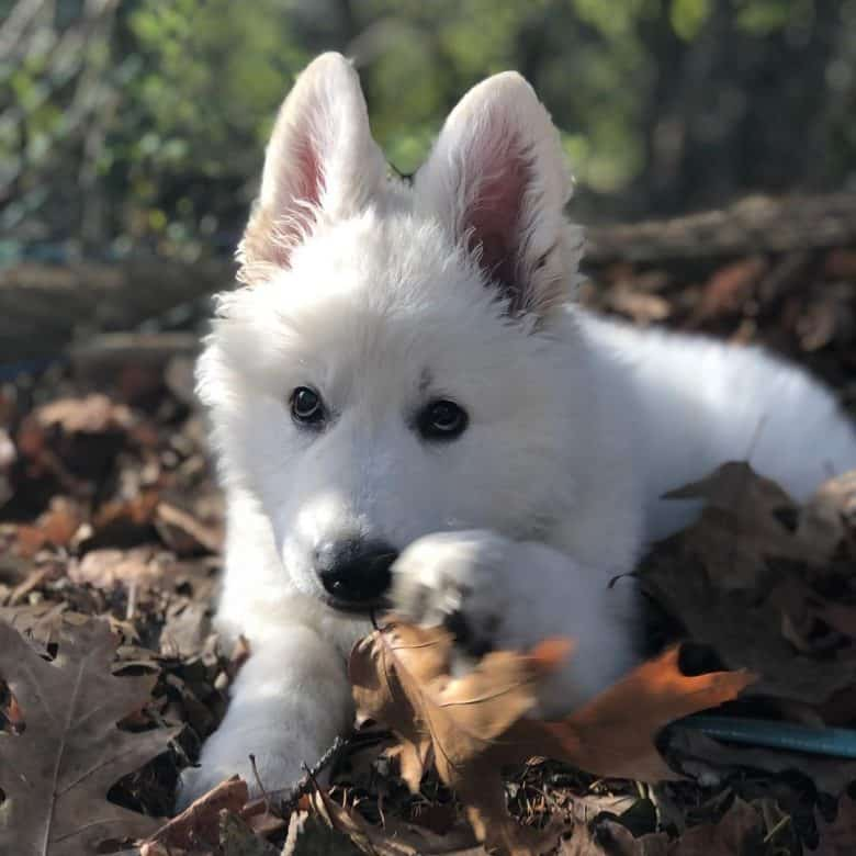 A White GSD puppy laying on dried leaves