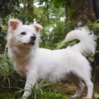 A white Japanese Spitz-Shih Tzu mix in a forest