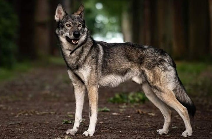 A full body image of Tamaskan dog standing in a forest