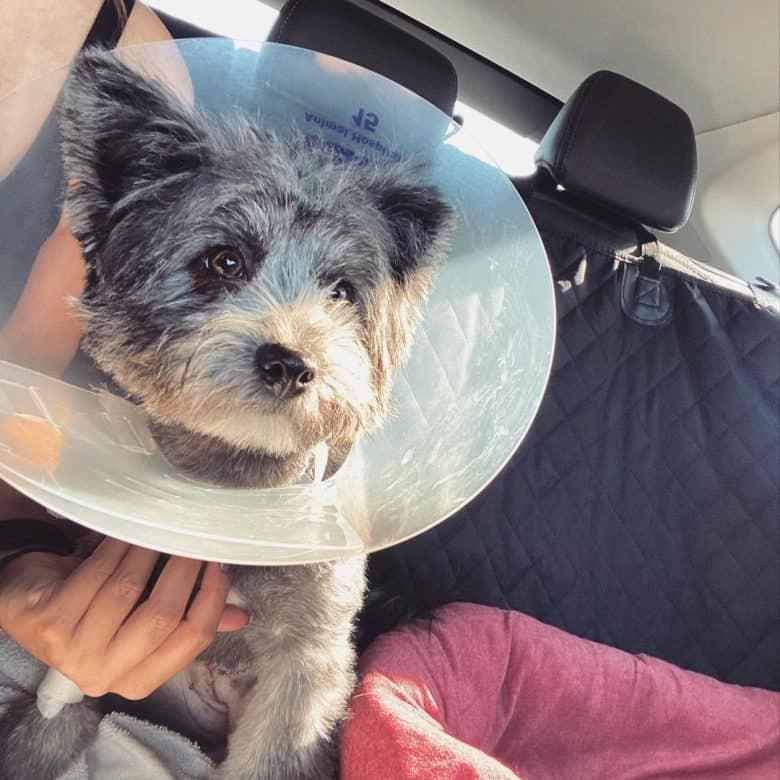 A Yoranian sitting inside a car wearing a dog cone