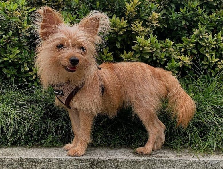 A cute Yorkie Pom mix with long coat standing on a pavement