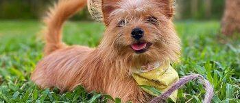 a lovable Yorkie Pomeranian smiling wearing a yellow bandana