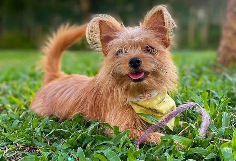 A lovable Yorkie Pomeranian mix smiling wearing a yellow bandana