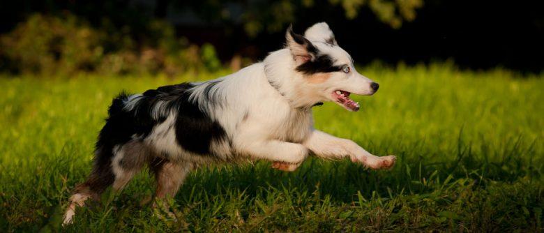 Young Australian Shepherd merle dog running on the grass