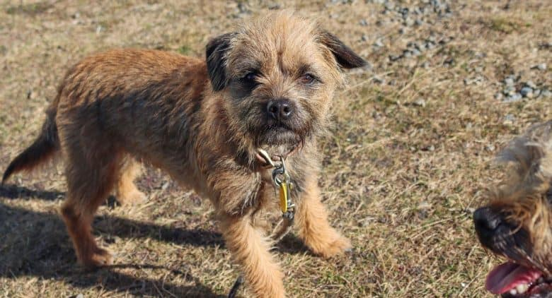 Young Border Terrier dog in a sunny day