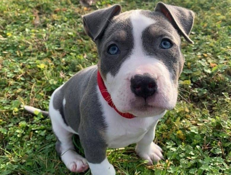 Young Pitbull dog sitting on the grass