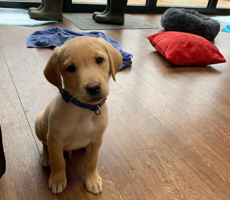 3-month-old Labrador puppy