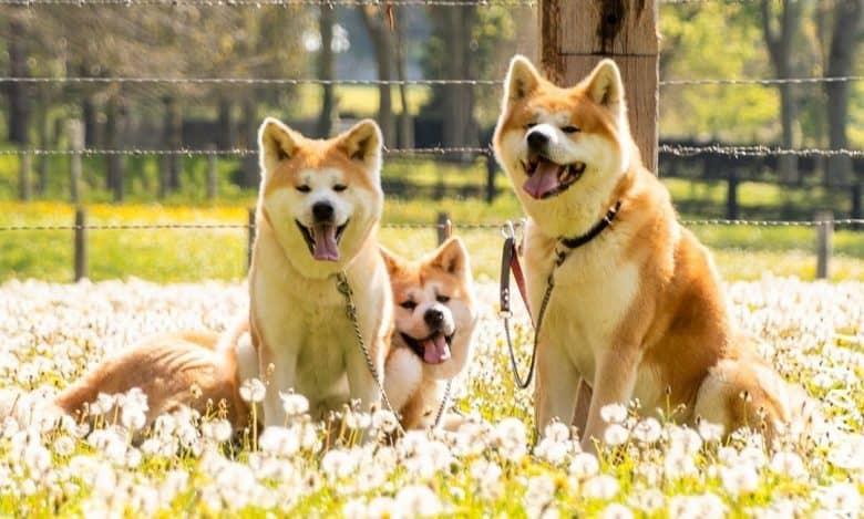 Playful Akita dogs happily resting on a field