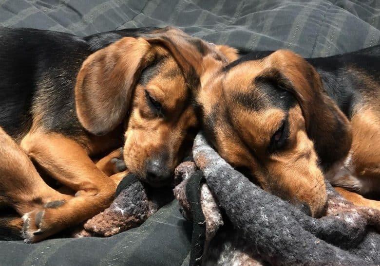 Bi-colored Black and Tan Beagles