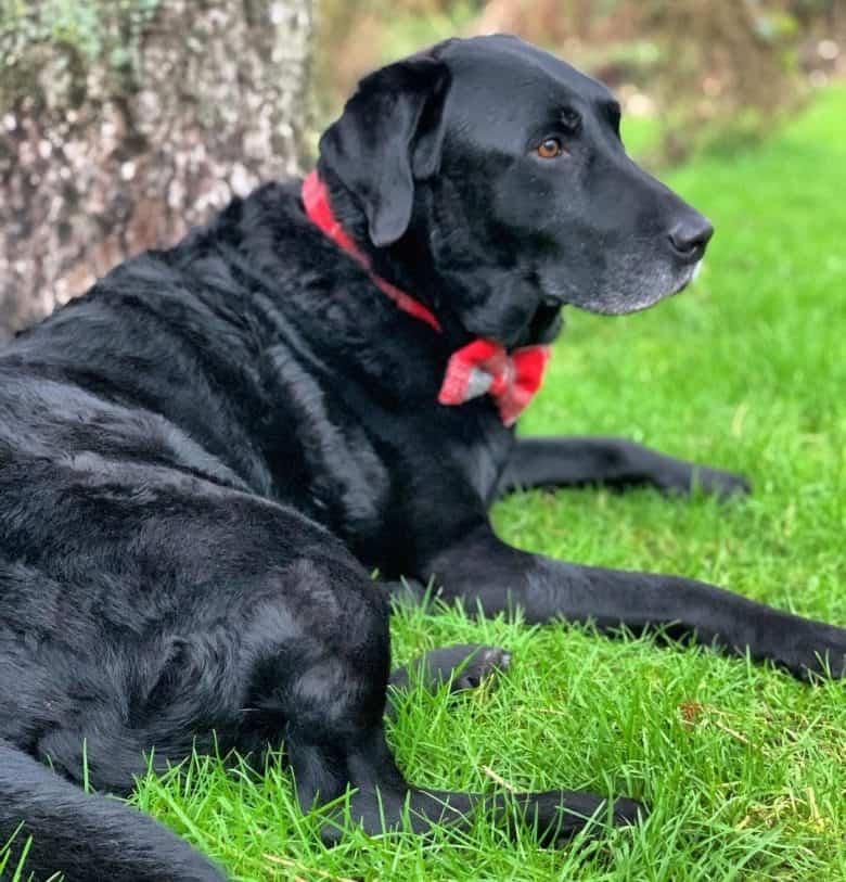 Black Labrador dog lying outside
