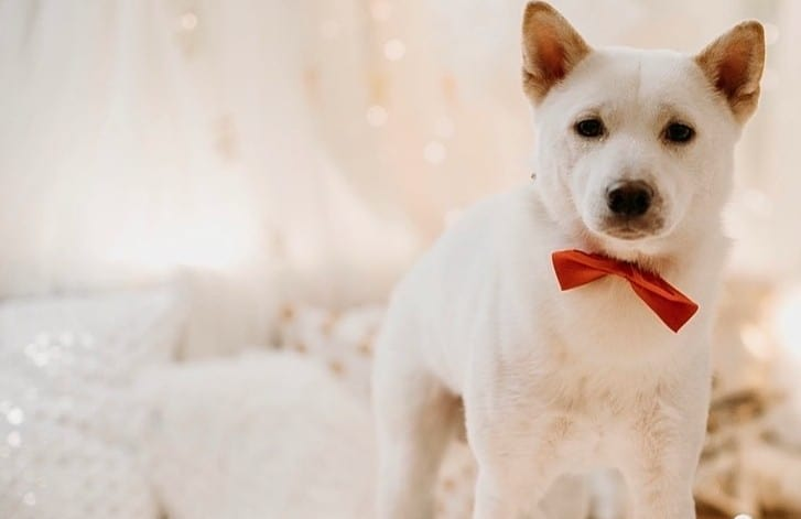 A Shiba Inu wearing a red bow tie