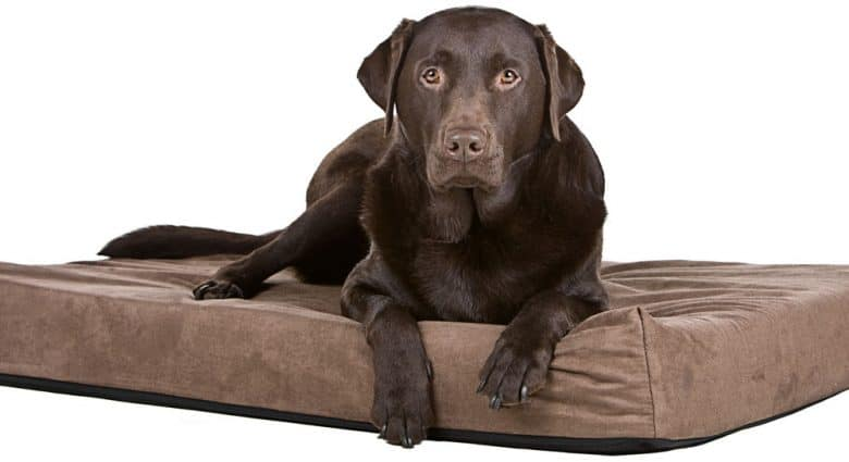 Chocolate Labrador dog on his memory foam bed