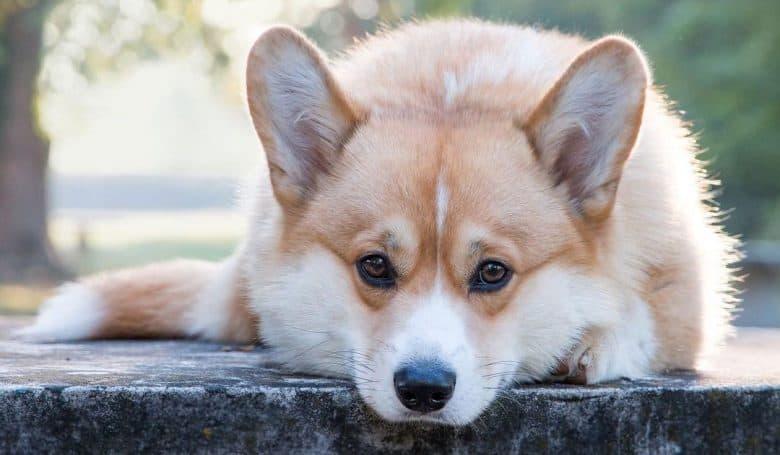 Lonely Corgi dog lying outdoor