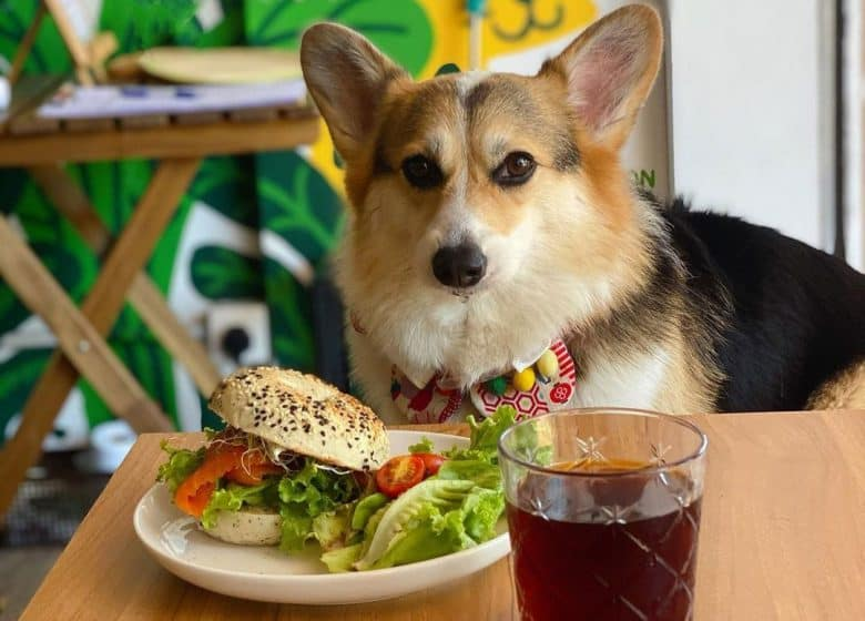 Corgi dog with burger and tea in front