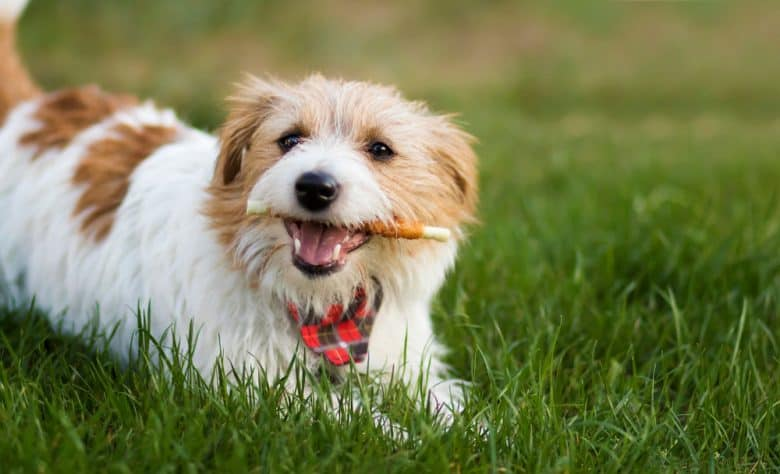 Happy pet dog chewing a dental snack treat