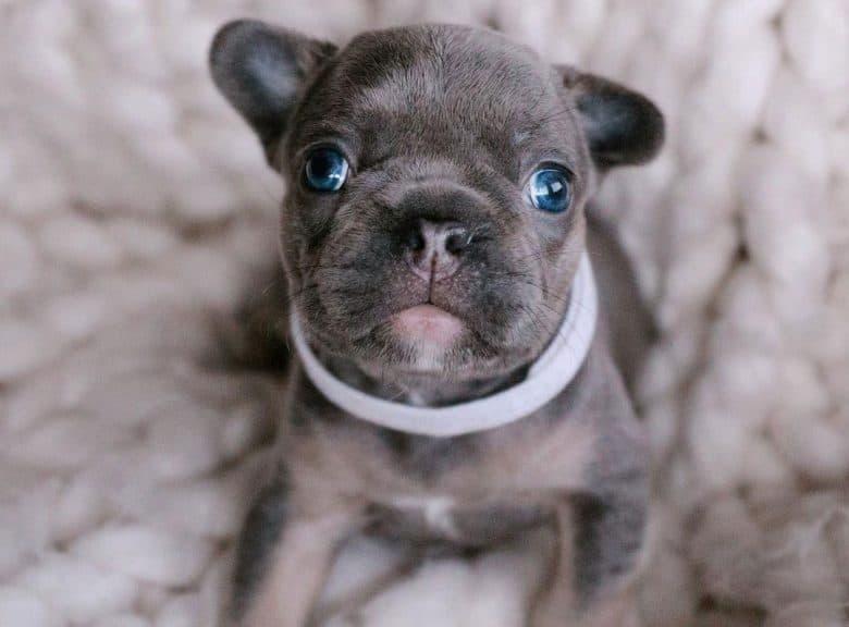 A lovable Blue French Bulldog puppy
