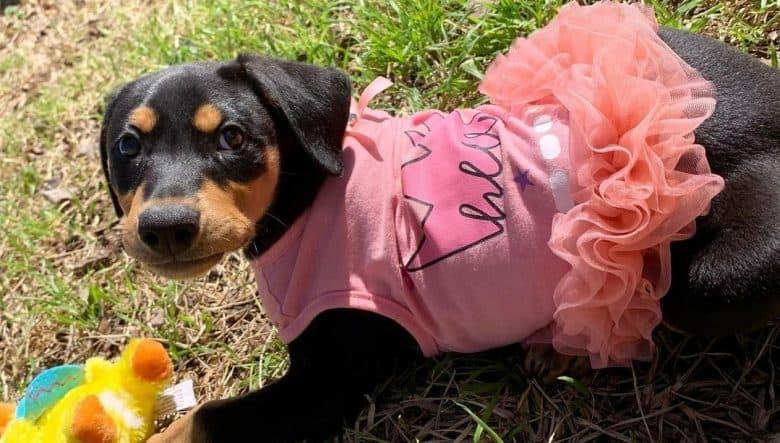 a Doberman Pinscher puppy wearing a tutu