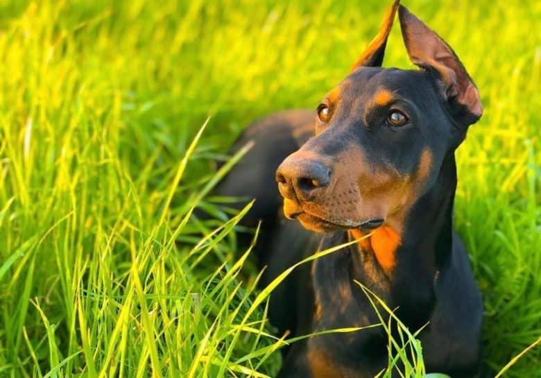 a Doberman Pinscher laying on a field on tall grass