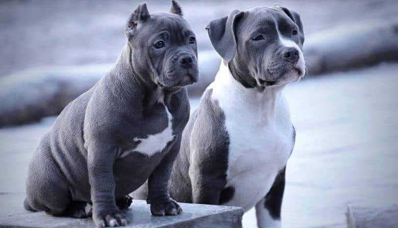 Portrait of Bully and American Staffordshire Terrier dogs