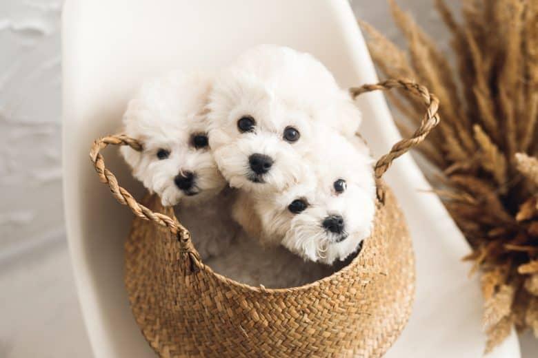 Three Bichon Frise puppies inside a basket