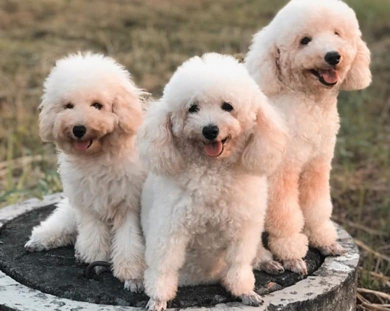 Three Poodles sitting and enjoying the outdoors