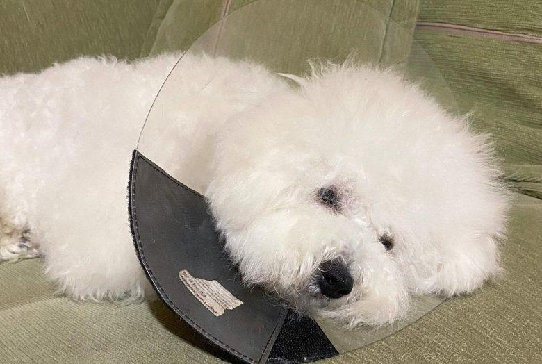 a Bichon Frise wearing a dog cone